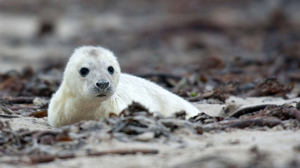 Robbe Baby Helgoland