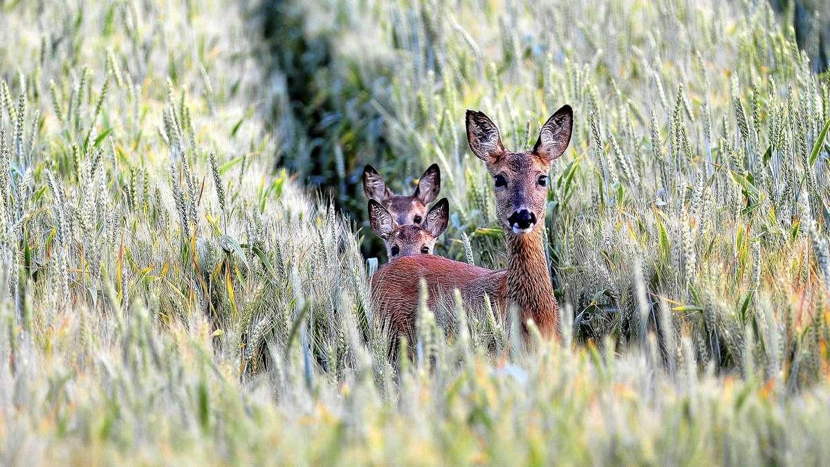 Das Reh ist das Wildtier des Jahres 2019: Es gibt viel falsches Wissen über die häufigste Hirschart